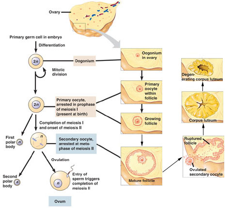 Cell fertilization maturation production regeneration sperm