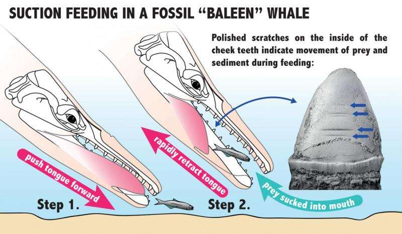 sperm Baleen whales from