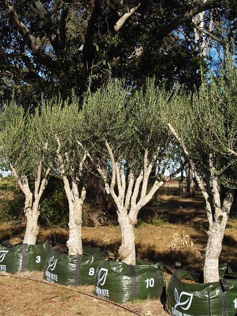 Mature olive trees in fresno
